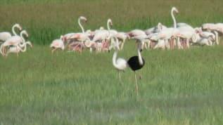 Sultan Sazlığı'nda siyah flamingo heyecanı