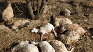 Antalya'da yıldırım düşmesi sonucu 39 koyun telef oldu