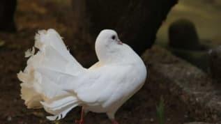 Diyarbakır'ın felç görünümlü güvercin görenleri hayrete düşürdü!