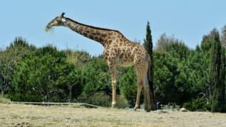 İzmir Doğal Yaşam Parkı'nın simge hayvanlarından zürafa 'Zarife' öldü