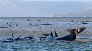 Balinalardan 380'i telef olurken, 20 balinayı kurtarma çalışmaları sürüyor