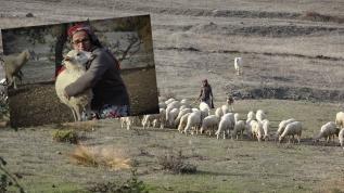 Koyunların hanımağası