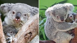 Dünyanın en yaşlı koalası Lottie, 19 yaşında öldü