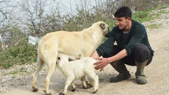 Kuzunun 'süt annesi' ÇOBAN KÖPEĞİ