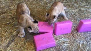Yavru aslanlar isimlerini seçti