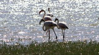 Flamingolar bu yıl erkenci