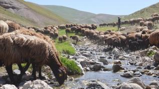 Fenomen çobanın aylık geliri 20 bin lira