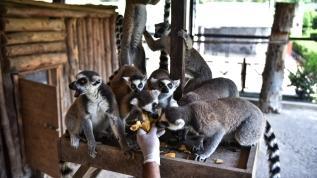 Madagaskarlı Lemurlar Mersin'de