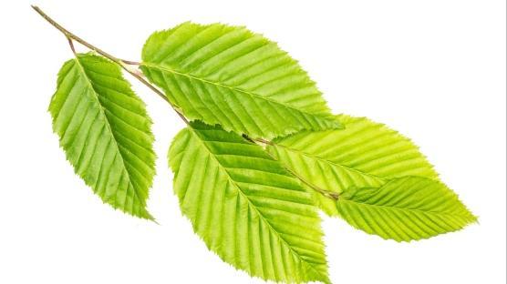 Reflünün doğal ilacı karaağaç çayı