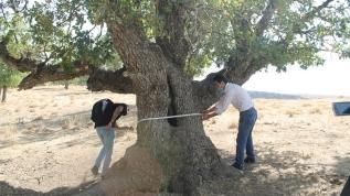 400 yıllık meşe ağacı sürprizi