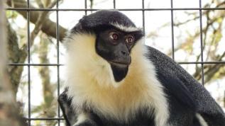 Dünyanın en yaşlısıydı... Koruma altındaki maymun öldü